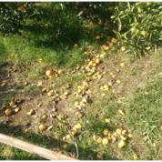 神奈川 耕作放棄地の再生 みかん畑がレモン畑に